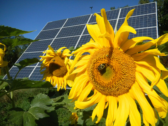 Environmentally Sustainable Building: A sunflower blooms in front of the solar array at Sterling College, in Craftsbury, Vermont.